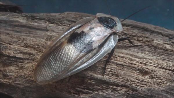 Totenkopfschaben mittel (Blaberus craniifer)