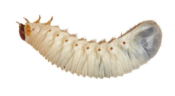 Rosenkäferlarven (Pachnoda sp.)