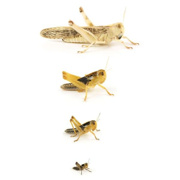 Wanderheuschrecken gross