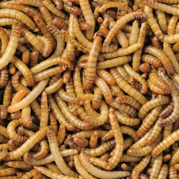 Mehlwürmer - gross - (Tenebrio molitor)