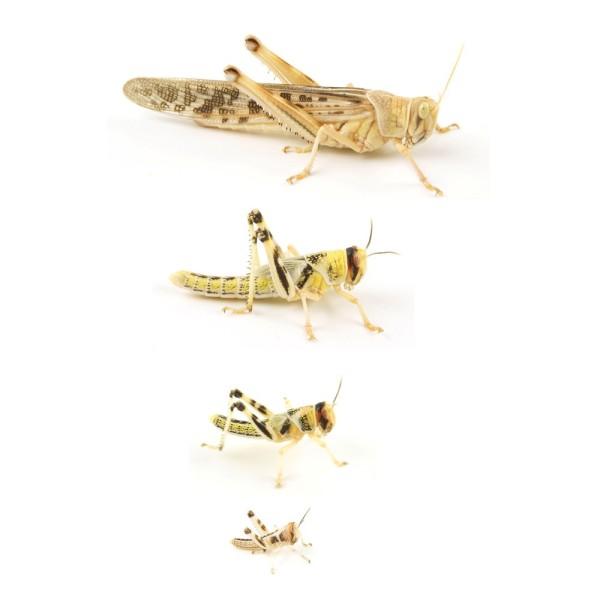 Wüstenheuschrecken gross (Schistocerca gregaria)
