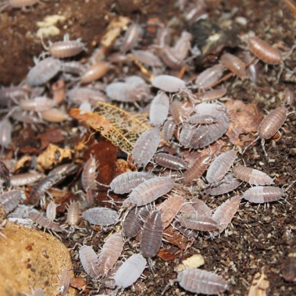 Porcellionides pruinosus (trop. braune Asseln)