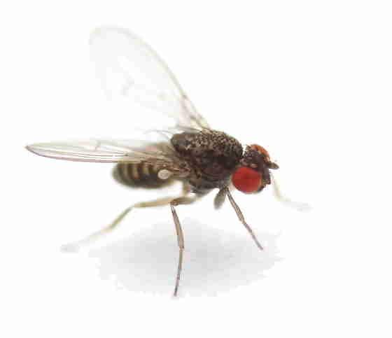 Drosophila gross (flugunfähig)