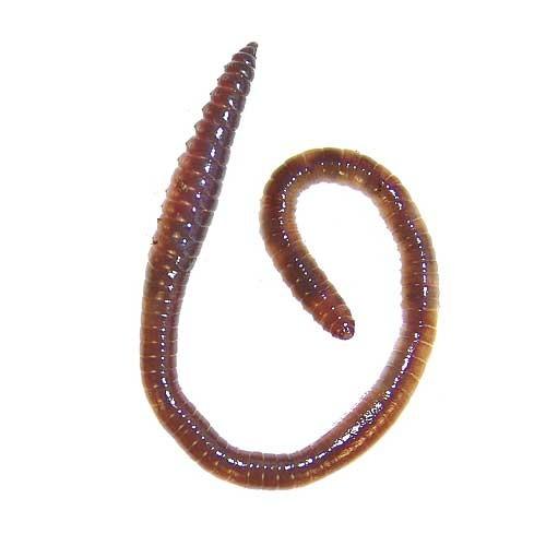 Laubwürmer